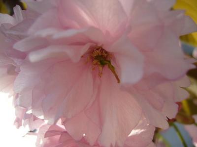 Sakura3_4