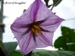 The_flower_of_the_eggplant